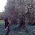 La Cooperativa Produttori Olivicoli di Bitonto prima in Italia per olive molite e olio prodotto