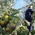 Furti di uva e olive, ronde nei campi contro i ladri