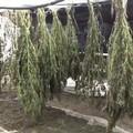 Maxi piantagione di droga a Canosa: arrestato 50enne bitontino