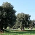 """Al Museo Archeologico di Bitonto la presentazione del libro  """"Il respiro degli ulivi """""""