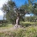 Xylella: via libera dell'UE al reimpianto di ulivi resistenti al posto di quelli eradicati