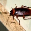 Blatte, topi e zanzare a Bitonto: da lunedì le disinfestazioni