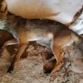 Volpe investita tra Mariotto e Terlizzi salvata dalle Guardie Ambientali