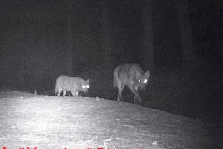 I lupi avvistati sulla Murgia del Ceraso a Bitonto