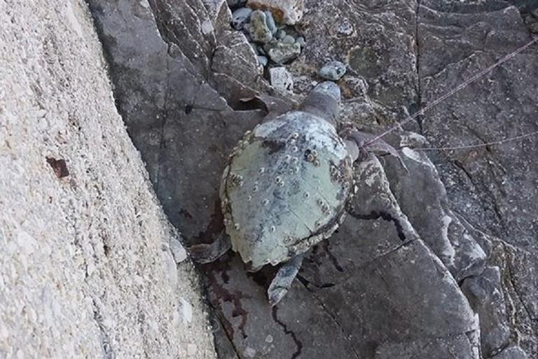 La tartaruga impigliata nella lenza