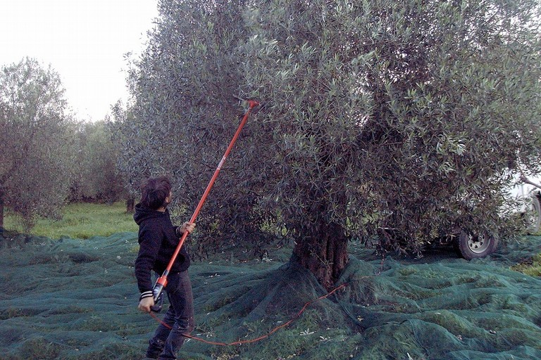 Raccolta olive JPG
