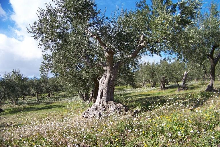 Una pianta di ulivo