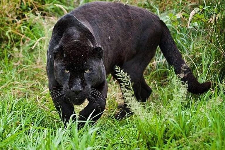 Una pantera in natura