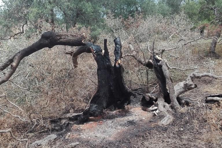 Uno degli ulivi secolari di Gino Ancona dati alle fiamme