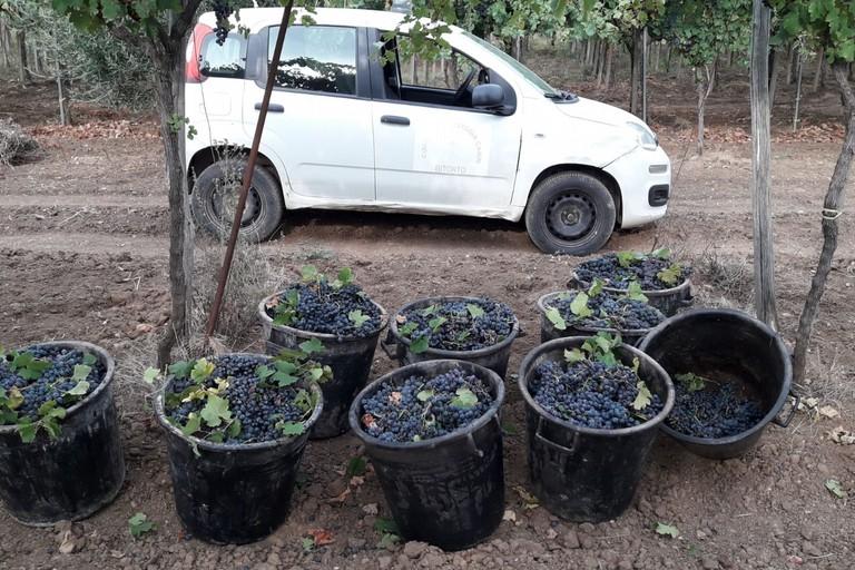 L'uva recuperata dagli uomini del Custodia Campi
